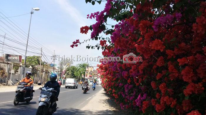Indah Bunga Bugenvil Mekar Hiasi Jalan