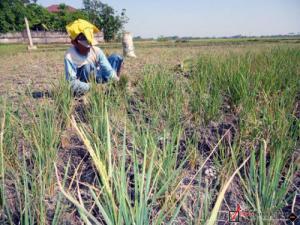 Kemarau, Petani Jangan Nekat Tanam Padi