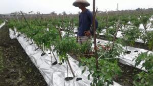 Bosan jadi Buruh, Muhajir Pilih jadi Petani Cabai