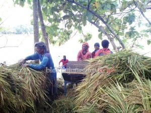 Banjir, Petani Desa Ngulanan Panen Dini