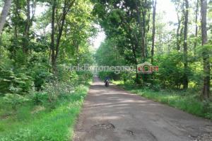 Pohon di Jalan Dander-Bubulan Rawan Tumbang