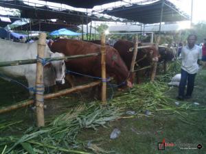 Hari Ini Lomba Ternak di Pesen