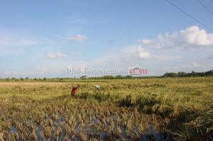 Petani Terpaksa Panen Dini